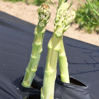 Biofolie/Grünspargelfolie von Glaeser Grow